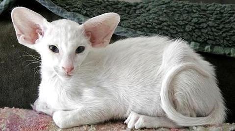 东方猫好养吗?东方猫饲养方法-猫咪品种